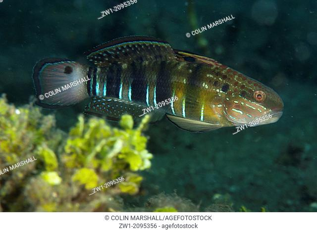 Banded Goby (Amblygobius phalaena) at Jadi-Jadi dive site in Lembeh Straits in Sulawesi in Indonesia