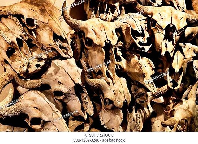 Skulls of buffaloes, Canada