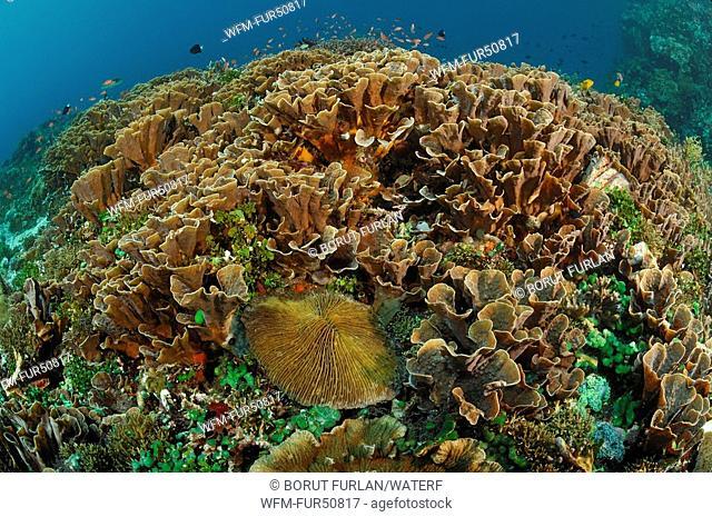 Hard Corals at healty Reef, Echinopora pacificus, Alor, Lesser Sunda Islands, Indo-Pacific, Indonesia
