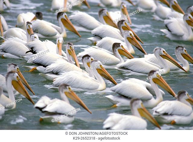 White pelican (Pelecanus erythrorhynchos), Fairford River, Manitoba, Canada