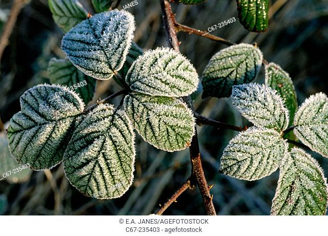 Frosted Bramble leaves. UK