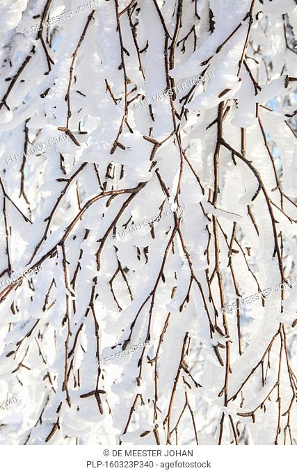 Twigs of broad-leaved tree covered in white hoar frost and snow in winter showing ice crystal formation pointing in same direction by wind