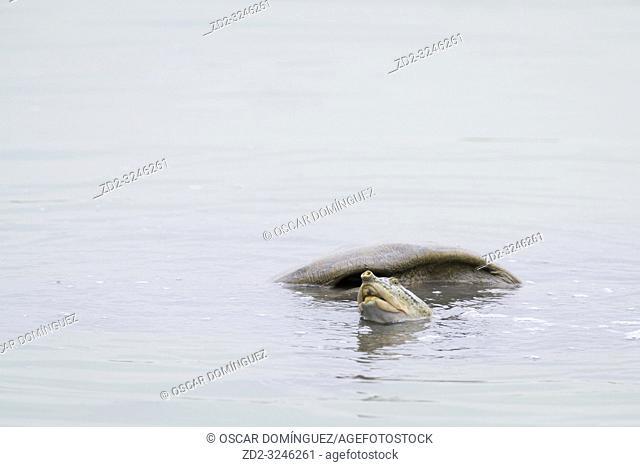 Adult Indian Softshell Turtle (Nilssonia gangetica) in water. Keoladeo National Park. Bharatpur. Rajasthan. India
