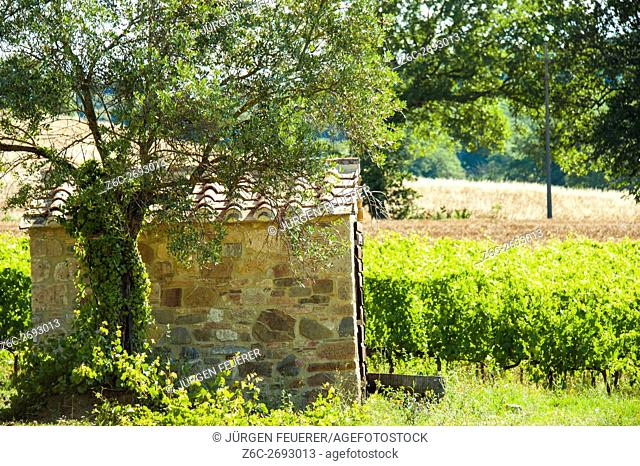 Rural scene with vine and olive tree next to a stone hut in the Tuscany, Italy