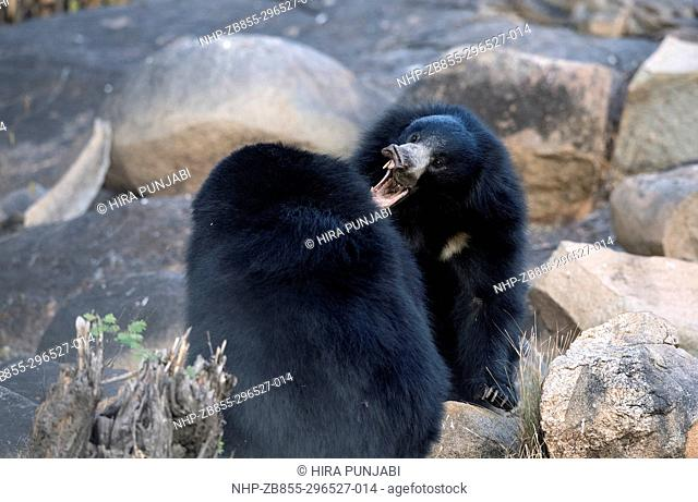 The image of Sloth Bear fight ( Melursus ursinus) was taken in Daroji wildlife sanctuary, Karanatka, India