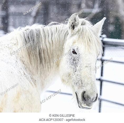 Percheron Horse in winter, close up, Manitoba, Canada
