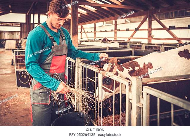 Young farmer feeding calf in the cowshed in dairy farm