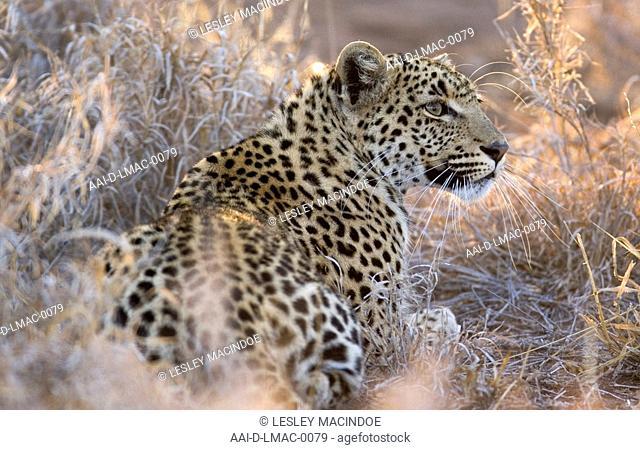 Portrait of a Leopard, Kruger National Park