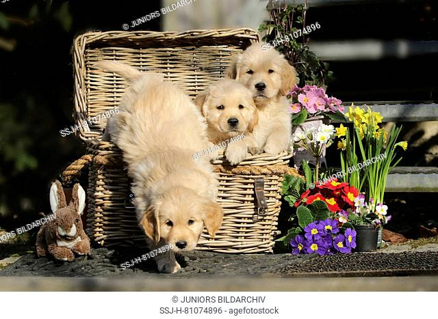 Golden Retriever. Three puppies (female, 7 weeks old) in wicker basket next to Easter decoration. Germany