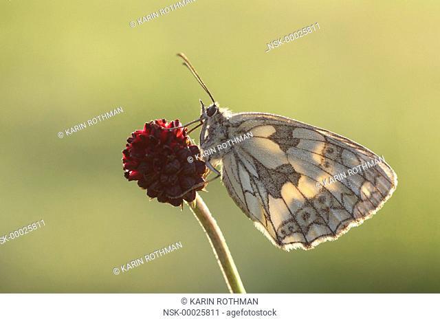 Marbled White (Melanargia galathea) butterfly resting on Great Burnet (Sanguisorba officinalis), Germany, Rhineland-Palatinate, Hunsruck