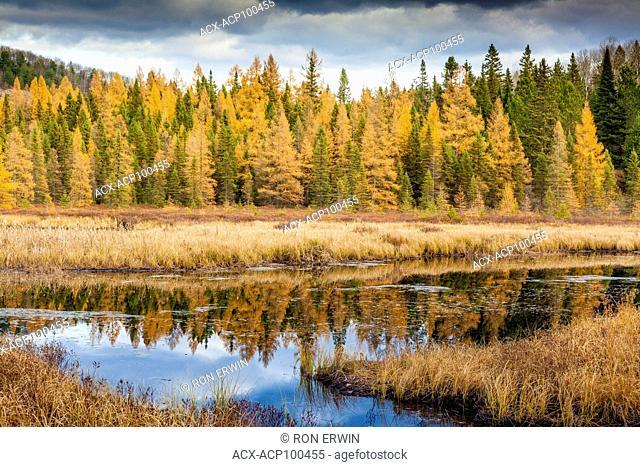 Tamarack trees (Larix laricina), Algonquin Provincial Park, Ontario, Canada - Tamarack needles turn brilliant yellow in autumn before falling off