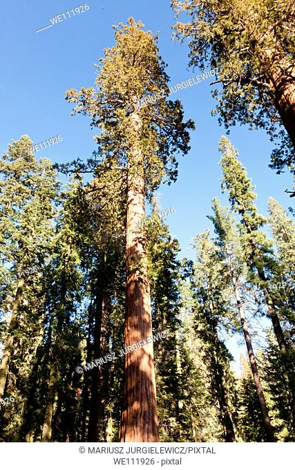 General Sherman Tree trail in Sequoia National Park, California