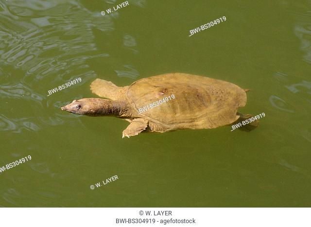 pig-nosed turtle, pitted-shell turtle, New Guinea plateless turtle, pignosed softshell turtle (Carettochelys insculpta)