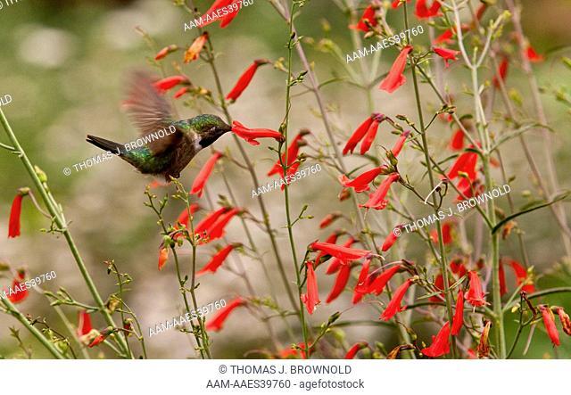 Broad tail humming bird feeding on a penstemon barbatus