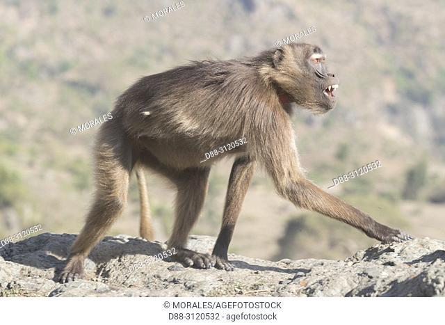 Africa, Ethiopia, Rift Valley, Debre Libanos, Gelada or Gelada baboon (Theropithecus gelada), adult female alone