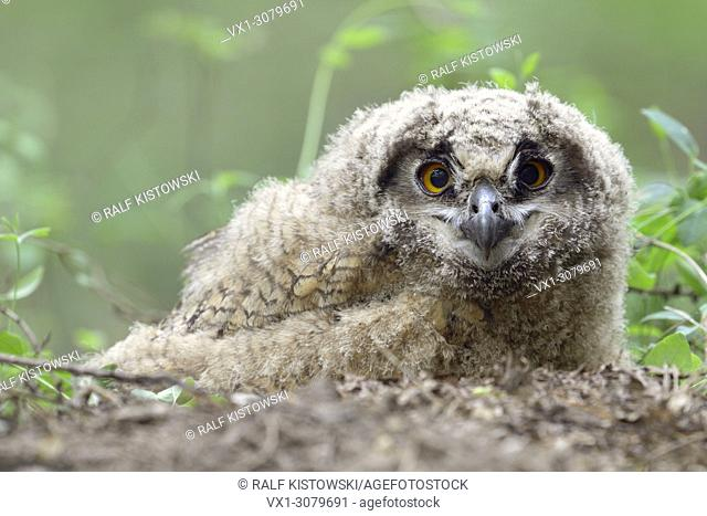 Eurasian Eagle Owl ( Bubo bubo ) young chick, jumped out of / left its nest, still unfledged, sitting on the ground, watching, looks funny, wildlife, Europe