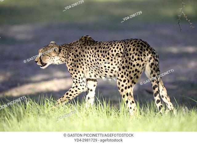 Cheetah (Acinonyx jubatus), Kgalagadi Transfrontier Park, Kalahari desert, South Africa/Botswana