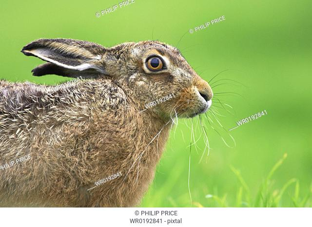 Brown Hare Lepus capensis Argyll, Scotland, UK
