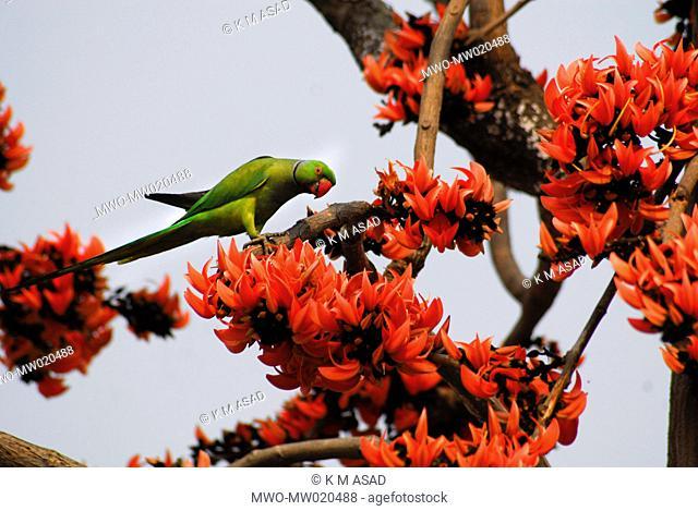 A parrot on a Palash tree Bangladesh February 11, 2009