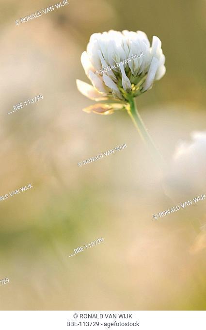 White Clover in warm sunlight