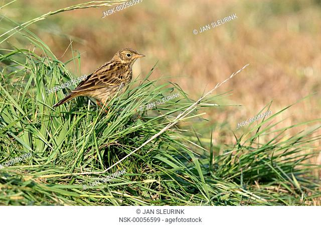Meadow Pipit (Anthus pratensis) perched on a sod, The Netherlands, Gelderland, polder Arkemheen