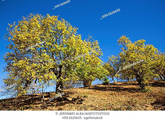 Autumn leaves chestnut forest, Igualeja Genal valley, Serrania de Ronda. Malaga province, Andalusia Southern Spain