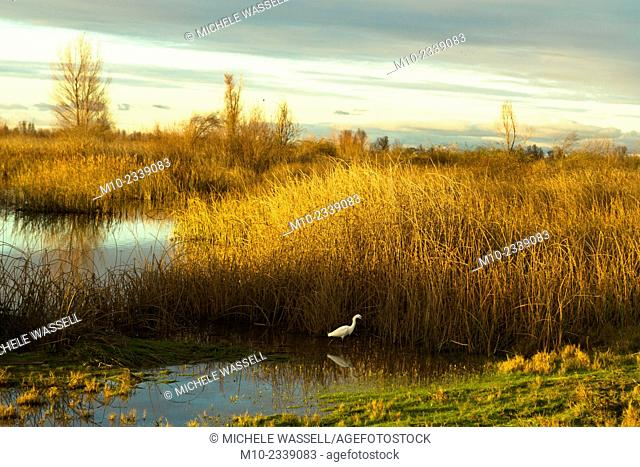 Snowy Egret in the marsh at sunset in Northern California, USA