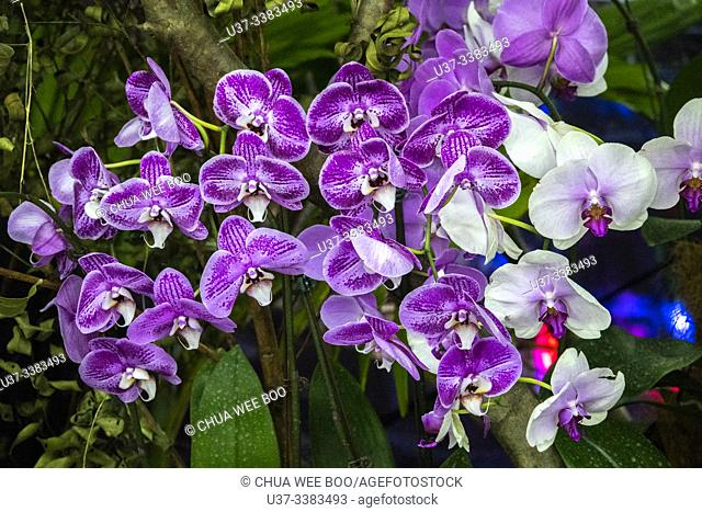 Asia Pacific Orchid Conference 13 (APOC 13) at Borneo Convention Centre Kuching (BCCK), Sarawak, Malaysia
