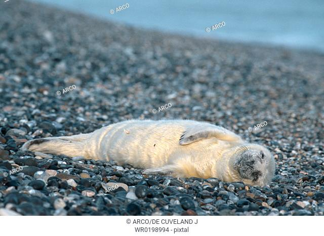 Grey, Seal, pup, Helgoland, Schleswig-Holstein, Germany,Halichoerus, grypus