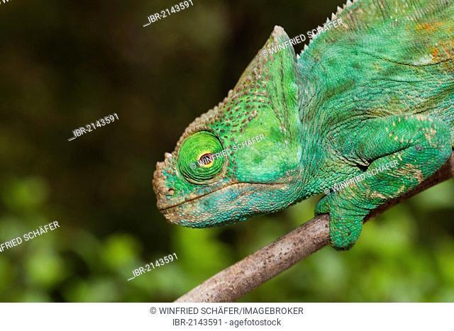 Giant Chameleon (Calumma parsonii), female, Madagascar, Africa