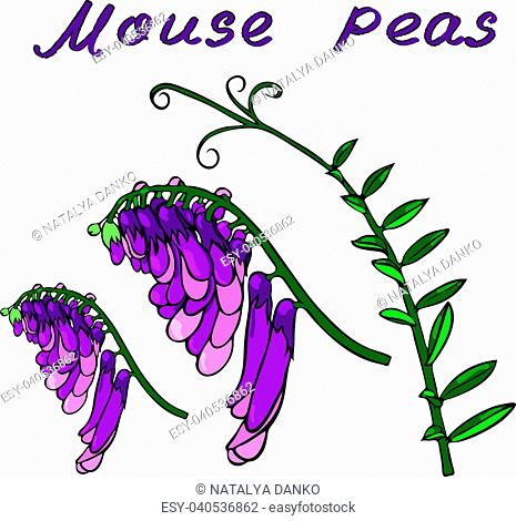 flowering branches of a flower mouse peas and a green branch with leaves isolated on a white background
