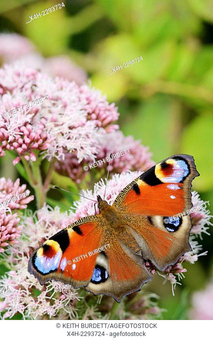 Inachis io, Peacock butterfly feeding on Hemp Agrimony, Wales, UK