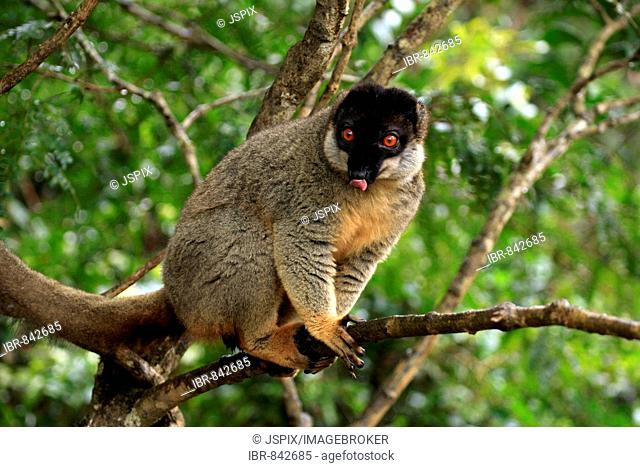 Common Brown Lemur (Eulemur fulvus fulvus), adult male in a tree, Madagascar, Africa