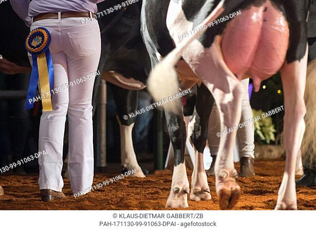 A helper leads and award winning cow of the breed 'Schwarzbunt Holstein' through the arena at the 'Rinder Allianz-Verbandsschau' (lit