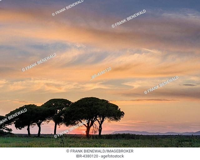 Green pine trees at sunset, Albarese, Tuscany, Italy