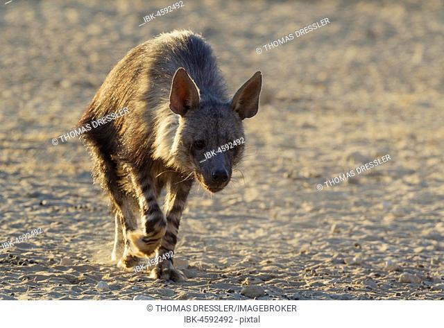 Brown hyena (Hyaena brunnea), walking, Kalahari Desert, Kgalagadi Transfrontier Park, South Africa