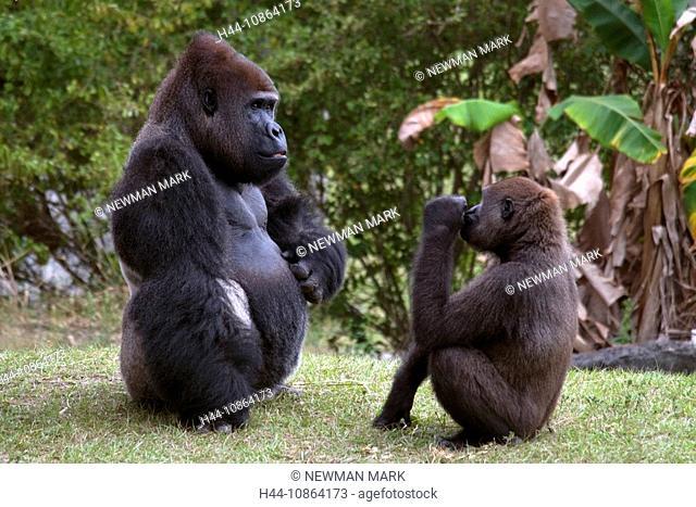 Western lowland gorilla, 2008, outdoors, animals, primates