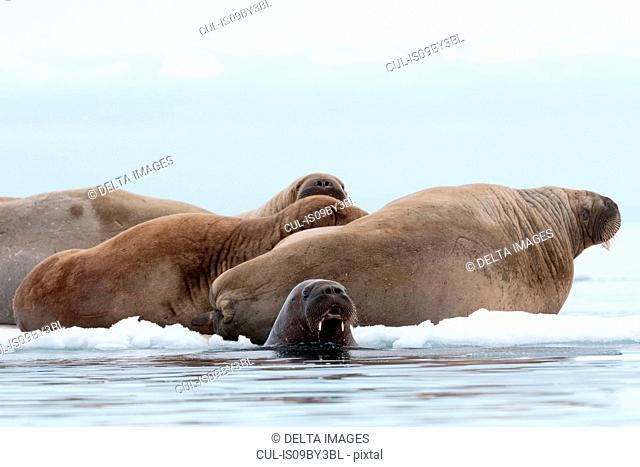 Atlantic walruses (Odobenus rosmarus) on and around iceberg, Vibebukta, Austfonna, Nordaustlandet, Svalbard, Norway