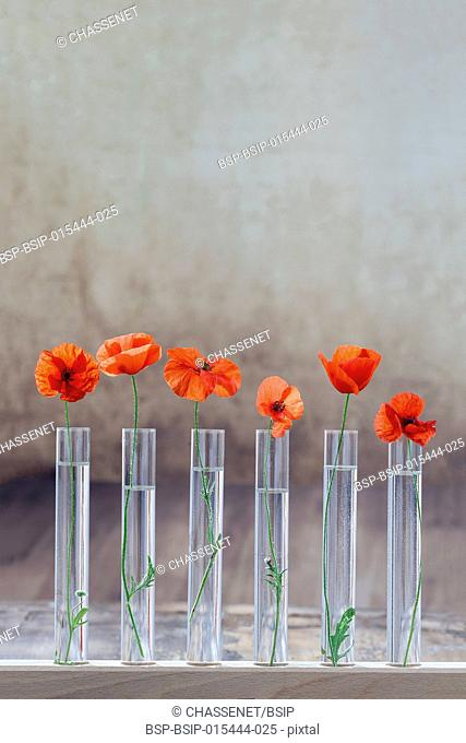 Poppy in test tube for herbal medicine and essential oil on . The concept of biological research