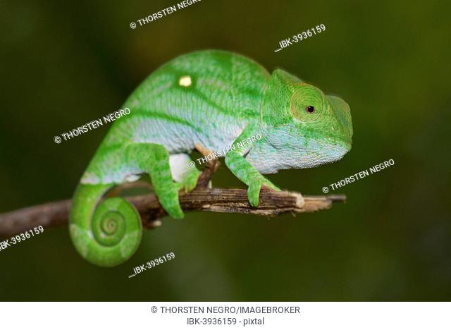 Parson's Chameleon (Calumma parsonii), young, Marojejy, Sambava, Madagascar