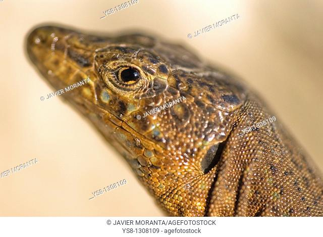 Lilford's Wall Lizard (Podarcis lilfordi gigliolii), Dragonera, Balearic Islands, Spain