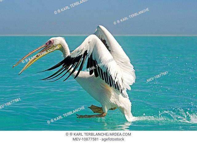 Great White Pelican - in flight landing in water (Pelecanus onocrotalus). Atlantic ocean near Walvis Bay Namibia - Africa