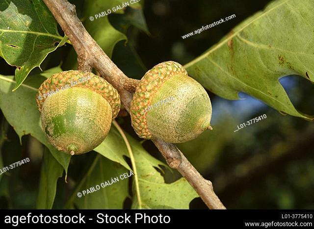 Quercus rubra. American oak