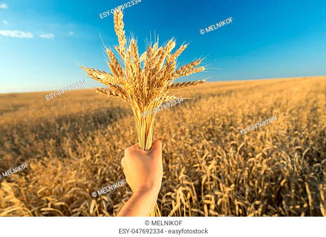 Man holds a ripe wheat . Man hands with wheat. Wheat field against a blue sky. wheat harvest in the field. ripe wheat closeup