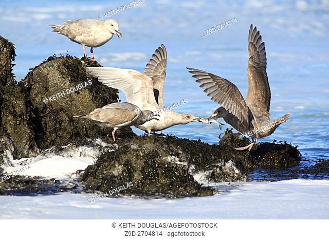 Gulls fighting over herring, near Nanaimo, Vancouver Island, British Columbia