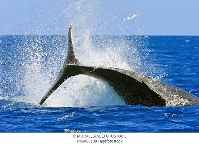 Humpback Whale (Megaptera novaeangliae) tail