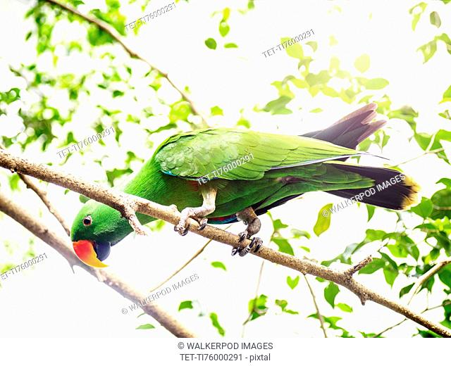 Eclectus parrot (Eclectus roratus) perching on branch