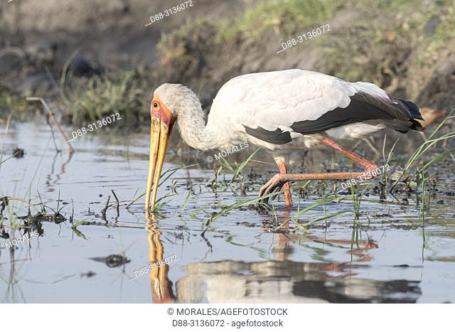 Africa, Southern Africa, Bostwana, Chobe i National Park, Chobe river, Yellow-billed Stork (Mycteria ibis)