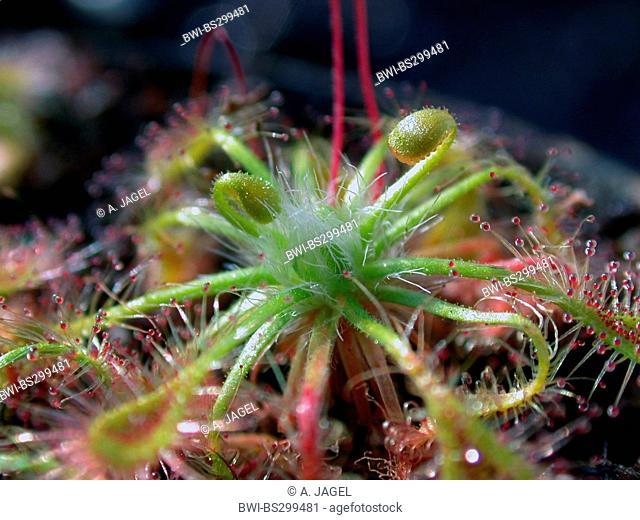 Erickson's Sundew (Drosera ericksonae), young leaves
