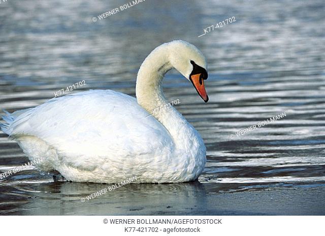 Mute Swan (Cygnus olor). Bavaria, Germany